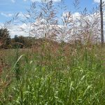 Johnsongrass_Sorghum halepense_John Tann_CC BY 2.0_Flickr
