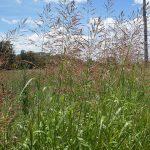 Johnsongrass_Sorghum halepense_John Tann_CC BY 2.0_Flickr