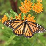 Monarch on Butterfly Weed_John Flannery_CC BY-SA 2.0_Flickr