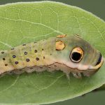 Spicebush Swallowtail Larva_John Flannery_CC BY-SA 2.0_Flickr