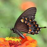 Spicebush Swallowtail_John Flannery_CC BY-SA 2.0_Flickr