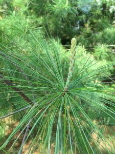 White pine bud or candle in spring_Lal Beral_CC BY-NC 2.0_Flickr