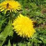 Bee on dandelion_Leo-seta_CC BY 2.0_Flickr