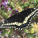 Black swallowtail on henbit_John Flannery_CC BY-SA 2.0_Flickr
