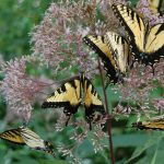 Eastern swallowtail butterflies on Joe Pye weed_Miss-Myers_CC BY-NC 2.0_Flickr