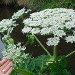 Giant hogweed_Jon Sullivan_CC BY-NC 2.0