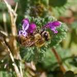 Honey bee on purple deadnettle_Ron Guest_CC BY-NC-ND 2.0_Flickr