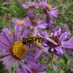 Hoverfly on wild asters_MJI Photos_CC BY-NC-ND 2.0_Flickr