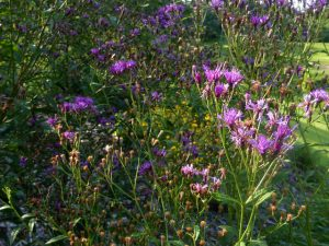 Ironweed at garden edge_Eleanor_CC BY-NC 2.0