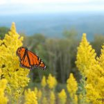 Monarch on wild goldenrod_Joe Giordano_CC BY 2.0_Flickr
