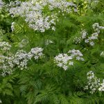 Poison Hemlock_Dan Mullen_CC BY-NC-ND 2.0_Flickr