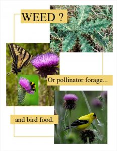 Thistle_weed or pollinator forage