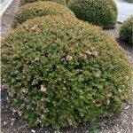 Abelia grandiflora_sheared_by DGreen_BCEMGV