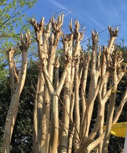 Crape myrtle_improper pruning_CC BY 2.0_Flickr