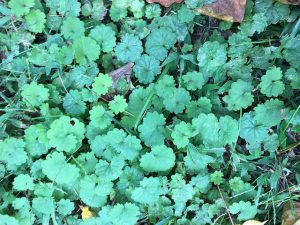 Ground Ivy_Derek Hudgins_CC BY-SA 2.0_Flickr