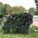 Rose of Sharon_improper pruning_by DGreen_BCEMGV