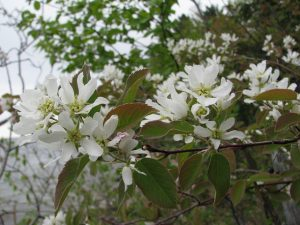 Serviceberry tree_Amelanchier arborea_Rosaceae_Kerry Woods_CC BY-NC-ND 2.0_Flickr