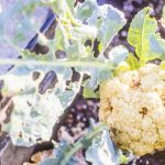 Cauliflower with damaged leaves_Dennis Amith_CC BY-NC 2.0_Flickr