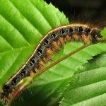 Eastern Tent Caterpillar (Malacosoma americana)_Katja Schulz_CC BY 2.0_Flickr