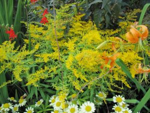 Goldenrod (Solidago)_Leonora (Ellie) Enking_CC BY-SA 2.0_Flickr