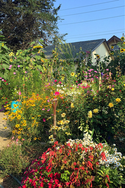 Pollinator garden in bloom (August)_Sara Asher Morris_CC BY-NC 2.0_Flickr