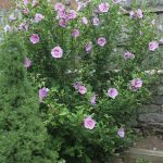 Rose of Sharon_Hibiscus syriacus_Jim-the-Photographer_CC BY 2.0