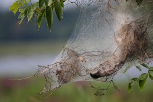 Webworm Web_Tim Lenz_CC BY 2.0_Flickr