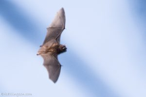 Bat_Eric Ellingson_CC BY-NC-ND 2.0_Flickr