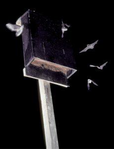 Bats in flight around bat house_by Mark & Selena Kiser at Bat Conservation International