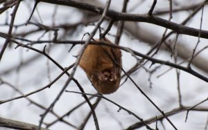 Eastern Red Bat_Logan Ward_CC BY 2.0_Flickr