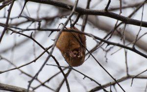 Eastern Red Bat_Logan Ward_CC BY 2.0_Flickr