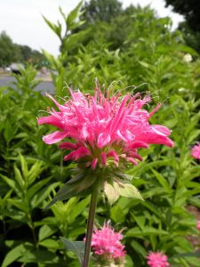 Monarda 'Marshall's Delight'_Chadwick Arboretum_CC BY-NC-ND 2.0_Flickr