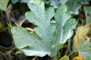 Powdery mildew on pumpkin leaves_Jeff Kubina_CC BY-SA 2.0_Flickr