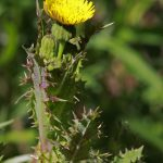 Spiny sowthistle_Sanchus asper_Andrey Zharkikh_CC BY 2.0_Flickr
