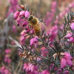 Bee on Heather_Erica darleyensis 'Kramer's Rote'