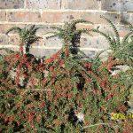 Cotoneaster horizontalis_Leonora Enking_CC BY-SA 2.0_Flickr