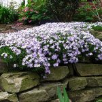 Creeping phlox over a rock wall_fitzmb_CC BY-NC-ND 2.0_Flickr