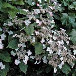 Lacecap_Hydrangea serrata 'Beni-gaku'_CC BY-NC-ND 2.0_Flickr