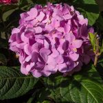 Mophead_Hydrangea macrophylla 'Penny Mac'_F. D. Richards_CC BY-SA 2.0_Flickr