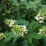 Oakleaf_Hydrangea quercifolia 'Snow Queen'_Plant Image Library_CC BY-SA 2.0_Flickr