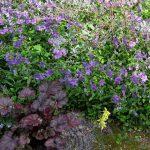 Phlox stolonifera 'Sherwood Purple'_K M_CC BY 2.0_Flickr