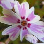 Phlox subulata_Kingsbrae Garden_CC BY-NC-SA 2.0