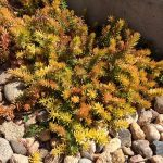 Sedum rupestre 'Angelina'_Patrick Standish_CC BY 2.0_Flickr