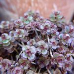 Sedum spurium_Ezequiel Coelho_CC BY-NC-ND 2.0_Flickr