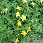 Creeping St. John's wort_Hypericum calycinum_by CameliaTWU_CC BY-NC-ND 2.0_Flickr