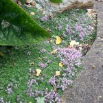 Creeping thyme_Thymus serpyllum 'Elfin'_Thistle-Garden_CC BY-NC 2.0_Flickr