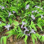Dwarf crested iris (Iris cristata)_Buddha Dog_CC BY-SA 2.0_Flickr