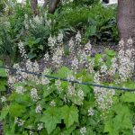 Foam flower (Tiarella cordifolia)_K M _CC BY 2.0_Flickr