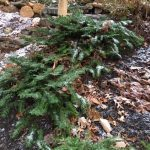 Prostrate Japanese plum yew_Cephalotaxus harringtonia 'Prostrata'_by BLeonard_BCEMGV