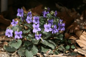 Violet_Viola labradorica in flower_Sara_CC BY-NC 2.0_Flickr